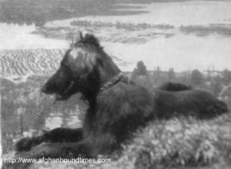 http://www.afghanhoundtimes.com The Ghazni Afghan Hounds of Maj. Mrs Amps