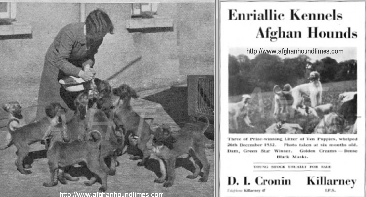 http://www.afghanhoundtimes.com Enriallic Afghan Hounds Ireland Kennel Advert 1933
