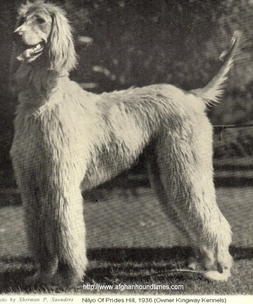 http://www.afghanhoundtimes.com - Nillyo Of Prides Hill owned by Kingway Kennels