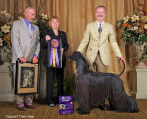 Afghan Hound Times. 2012 Top Hound and Natl Speciality Winner GCH CH Thaon's Mowgli