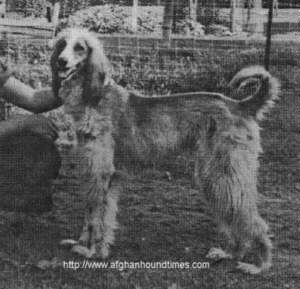 Afghan Hound Times photo - Shabra owned by Margaret L Nison