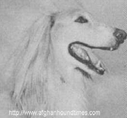 Afghan Hound Times photo - Yusseff