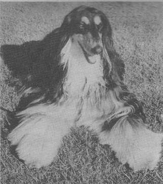 Afghan Hound Times - Bill Taffy Morris Judging Article , New Zealand