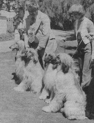 Afghan Hound Times photo - Rake/Mishuh/El Kabah - all of Chaucer Lodge NZ