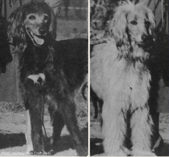 Afghan Hound Times photo - Blue Mist Of Egypt and Sinbad the Sailor