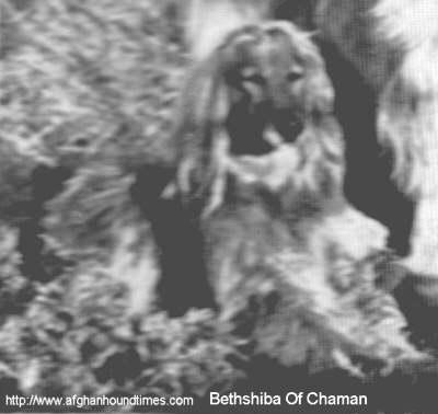 Afghan Hound Times - Bethshiba Of Chaman Sar Moyah