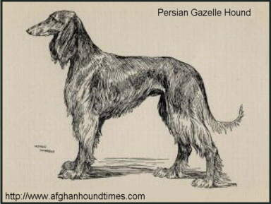 Early Afghan Hounds, Illustration of Shahzada by Arthur Wardle