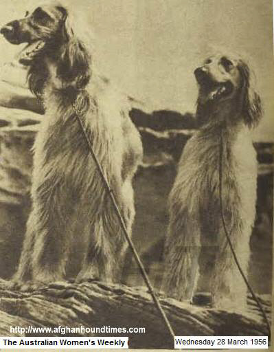 http://www.afghanhoundtimes.com PHOTOamarind Of Carloway (left), littermate to Tanjee Of Carloway